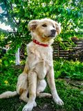 Bielu pies Obrazy Royalty Free