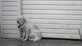 Bielu pies Przestraszący deszczem I burzą zbiory