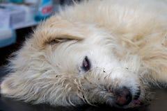 Bielu pies sedated zdjęcie stock