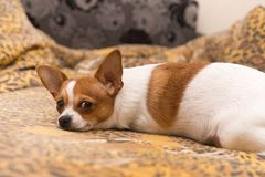 Bielu pies z czerwonymi punktami Obraz Royalty Free