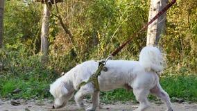 Bielu pies z smyczem zdjęcie wideo