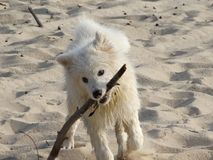 Bielu pies z trzciną w jego zębach obrazy royalty free