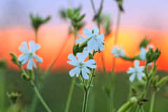 Bielu pole kwitnie na czerwonym zmierzchu Zdjęcia Stock