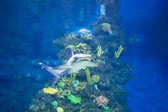 Bielu popielaty rekin Fotografia Royalty Free