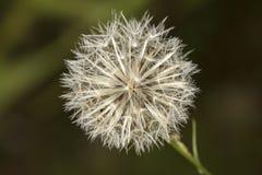 Bielu pospolitego dandelion blowball - taraxacum officinale zdjęcie stock