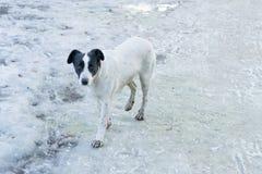 Bielu przybłąkany szczeniak stoi na parkowej drodze w mieście w zima słonecznym dniu Abendoned zwierzę domowe szuka nowego właści obrazy royalty free