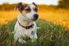 Bielu psa dźwigarki Russell teriera mali odpoczynki męczyli po biegać na łące w promieniach położenia słońce Fotografia Royalty Free