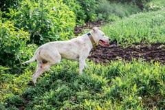 Bielu psi pitbull na paśników gaceń kierdlu Zwierzęta są ludzkim a zdjęcie stock