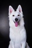 Bielu psi portret Obraz Royalty Free