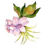Bielu różowy botaniczny kwiat Odosobniony bukiet ilustracji element zielony liść tła bazy projekta ustalona akwarela royalty ilustracja
