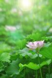 Bielu różowy lotosowy kwiat wśród zielonego ulistnienia Zdjęcie Royalty Free