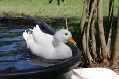 Bielu wezwania kaczka Pływa Dosyć i Patrzeje Obrazy Stock