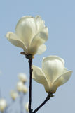 Biały Yulan kwiat Zdjęcie Royalty Free