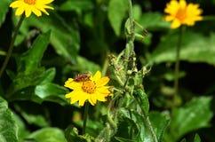 Biene ähnliche Fliege, die Nektar sammelt und einen gelben Wildflower in Thailand bestäubt Lizenzfreies Stockfoto