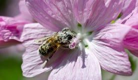 Biene abgedeckt im Blütenstaub Stockfotografie