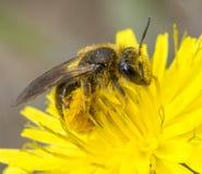 Biene abgedeckt im Blütenstaub Stockfotos