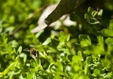 Biene in Arizona lizenzfreie stockbilder