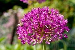 Biene auf Alium stockbild