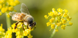 Biene auf Anise Flower Stockfotografie