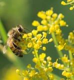 Biene auf Anise Flower Lizenzfreies Stockbild