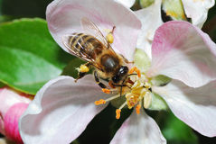 Biene auf Apfelblüte Stockfotos