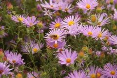 Biene auf Aster Lizenzfreies Stockfoto