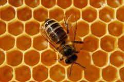 Biene auf Bienenwabe Lizenzfreies Stockfoto