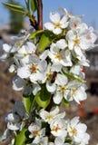 Biene auf Birnenblütenständen Stockbilder
