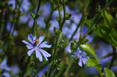 Biene auf blauem Kosmos Stockfotografie