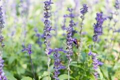 Biene auf blauem Salvia-Garten mit Unschärfehintergrund Stockbilder