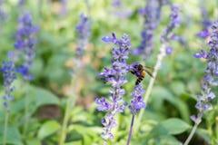 Biene auf blauem Salvia-Garten mit Unschärfehintergrund Stockfotografie