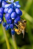 Biene auf blauer Blume Stockbilder