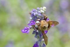 Biene auf blauer Blume Stockfoto