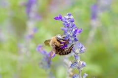 Biene auf blauer Blume Stockfotografie