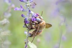 Biene auf blauer Blume Stockbild