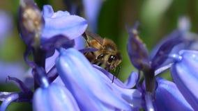 Biene auf blauer Blume Lizenzfreies Stockbild