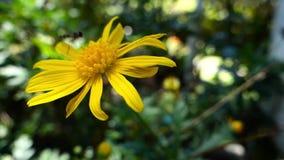 Biene auf Blume stock video footage