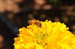 Biene auf Blume Lizenzfreie Stockbilder