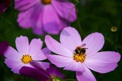 Biene auf Blume Stockbilder
