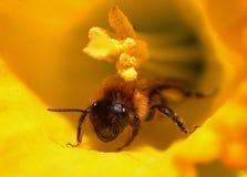 Biene auf Blume Lizenzfreies Stockfoto