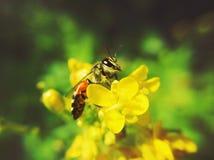 Biene auf Blume stockbild