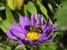Biene auf Blume Stockfotografie