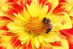 Biene auf Blume Lizenzfreies Stockbild