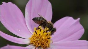 Biene auf Blume des Kosmos stock video footage