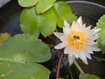 Biene auf Blume des weißen Lotos Stockfotos