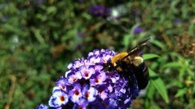 Biene auf Blumen Stockfotografie