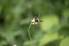 Biene auf Blumen Lizenzfreie Stockfotos