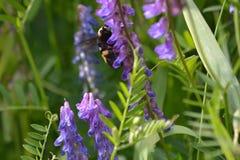 Biene auf Blumen-Betriebswildnis stockbild
