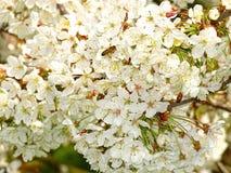 Biene auf Blumen den hellen Geruch genießend Lizenzfreie Stockbilder