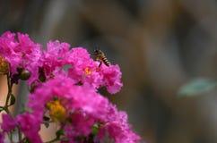 Biene auf Blumen der Kreppmyrte stockbild